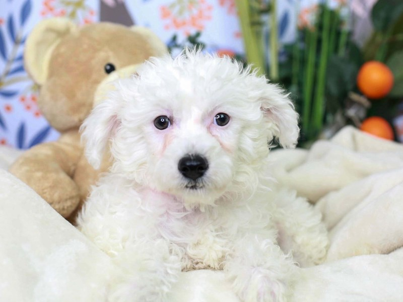 Chinese Crested-Female-White-2972981-Animal Kingdom | Puppies N Love