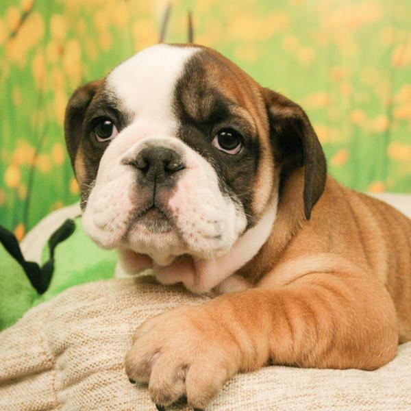 English Bulldog Puppies Animal Kingdom Arizona