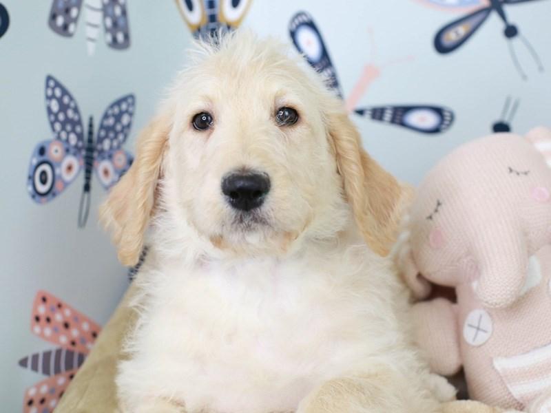 Labradoodle-Female-Cream-3003207-Animal Kingdom | Puppies N Love