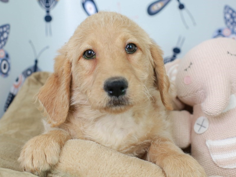 Labradoodle-Female-Cream-3003206-Animal Kingdom | Puppies N Love