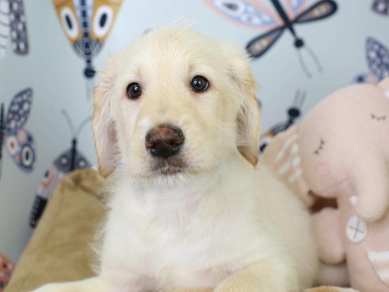 Labradoodle-Female-Cream-3003208-Animal Kingdom | Puppies N Love