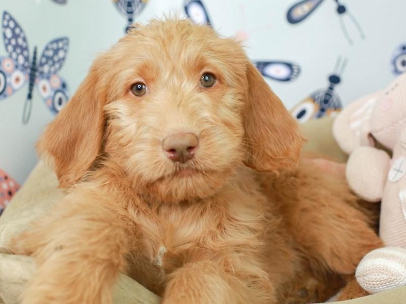 Labradoodle-Female--3009615-Animal Kingdom | Puppies N Love