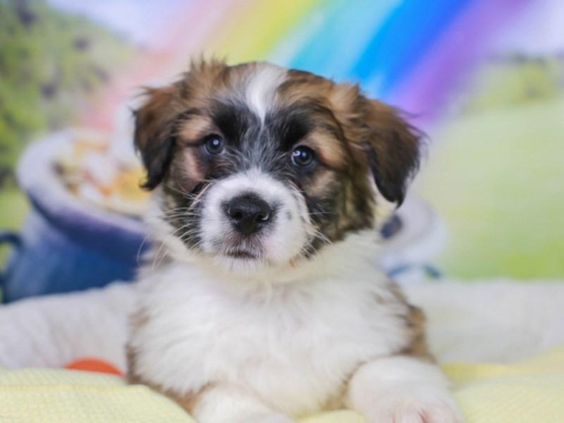 Aussieton-Male--3036973-Animal Kingdom | Puppies N Love