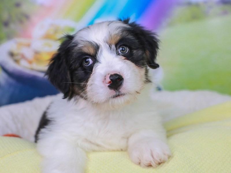 Aussieton-Male--3036974-Animal Kingdom | Puppies N Love