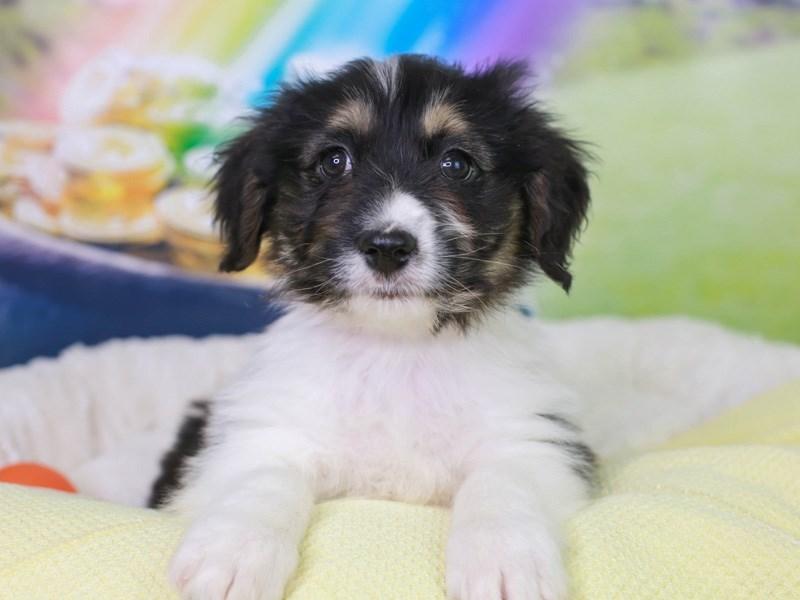 Aussieton-Female--3036980-Animal Kingdom | Puppies N Love