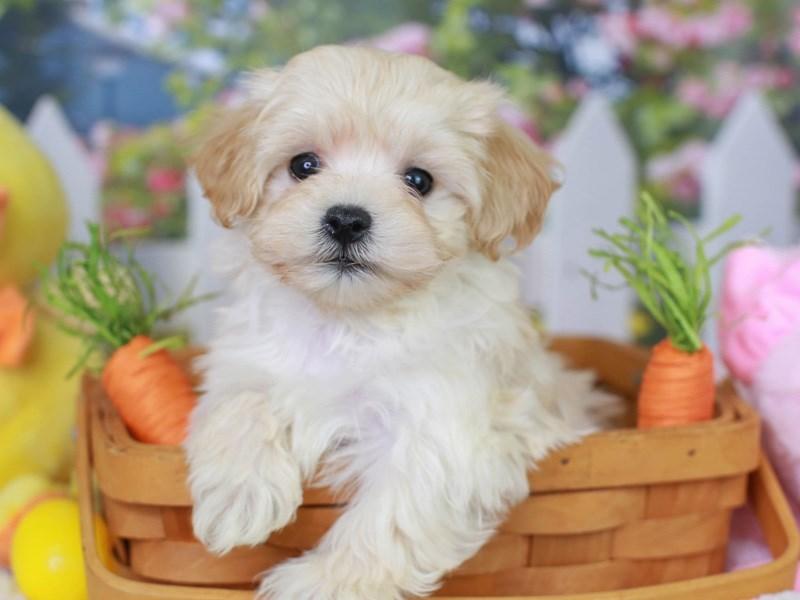 Maltipoo-Female--3069744-Animal Kingdom | Puppies N Love