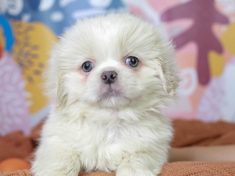 Pekingese-Male--3091224-Animal Kingdom | Puppies N Love