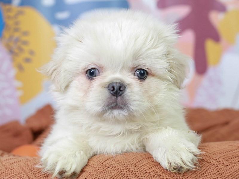 Pekingese-Male--3091225-Animal Kingdom | Puppies N Love