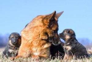 German Shepherd Puppies For Sale Animal Kingdom Arizona