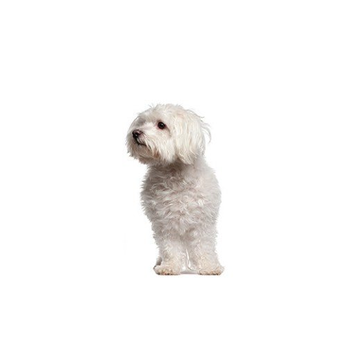 Maltipoo Puppies For Sale Available In Phoenix Tucson Az