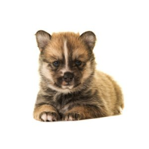 Pomsky Puppies For Sale Animal Kingdom Arizona