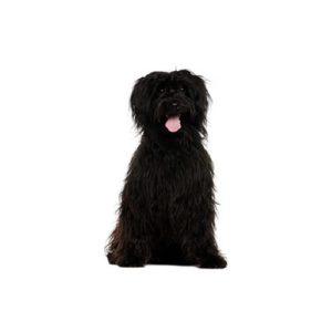 Schnoodle Puppies For Sale Animal Kingdom Arizona