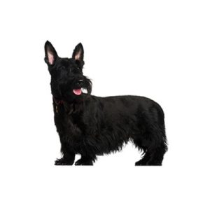 Scottish Terrier Puppies For Sale Animal Kingdom Arizona