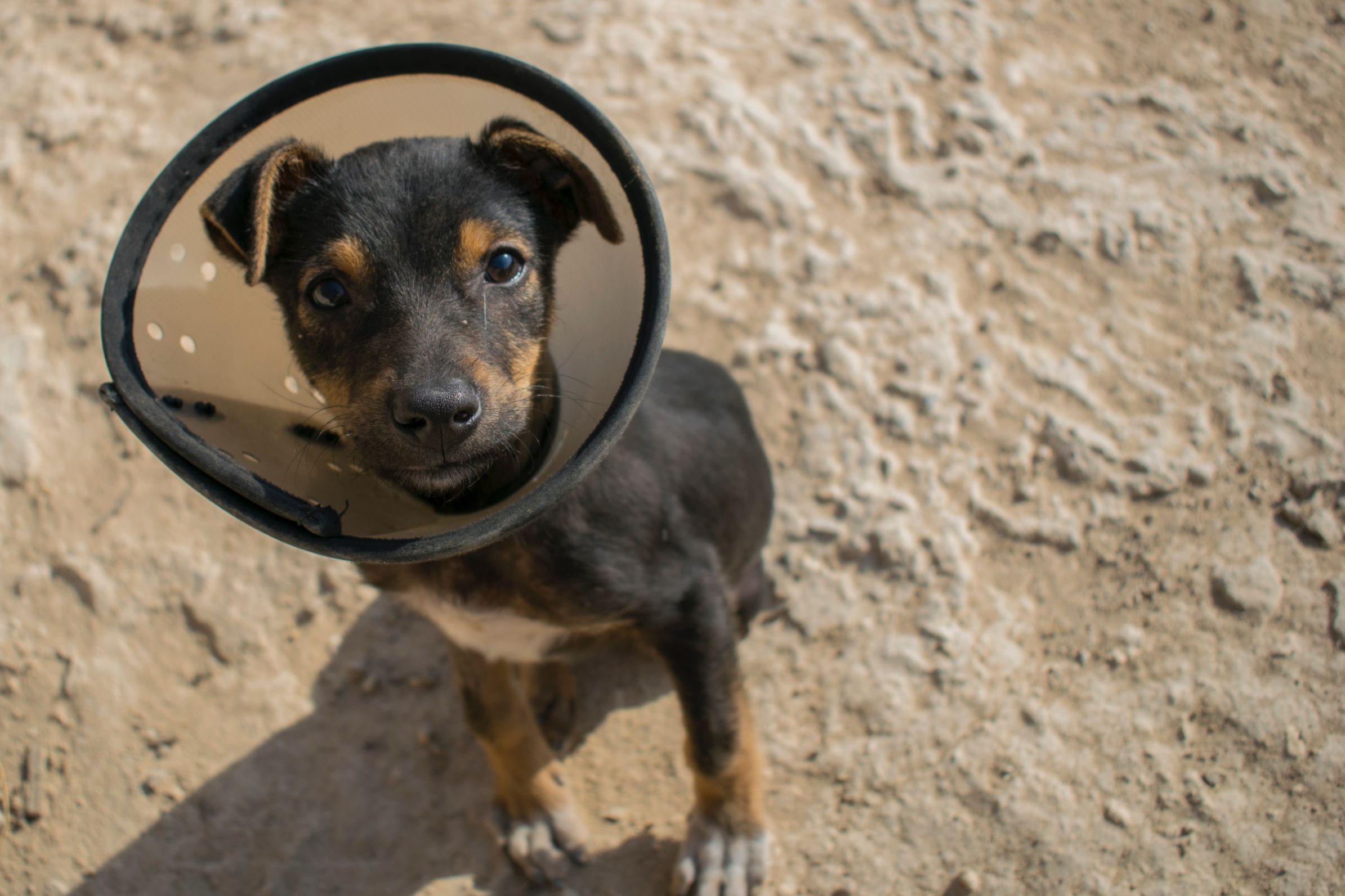 small puppy in cone