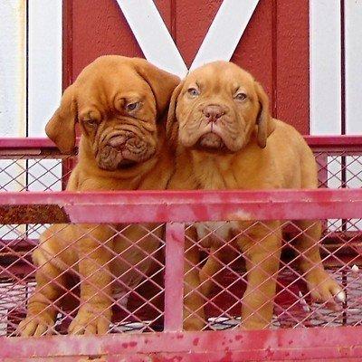 Dogues De Bordeauxs