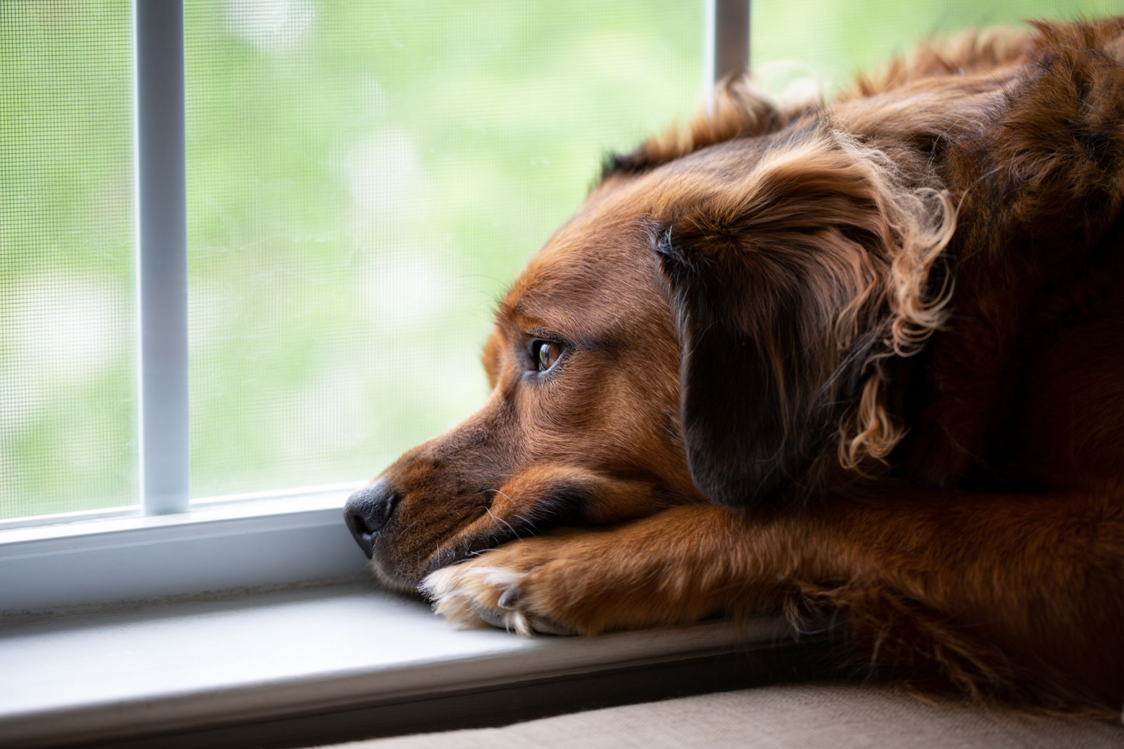 red dog laying their head down by a window