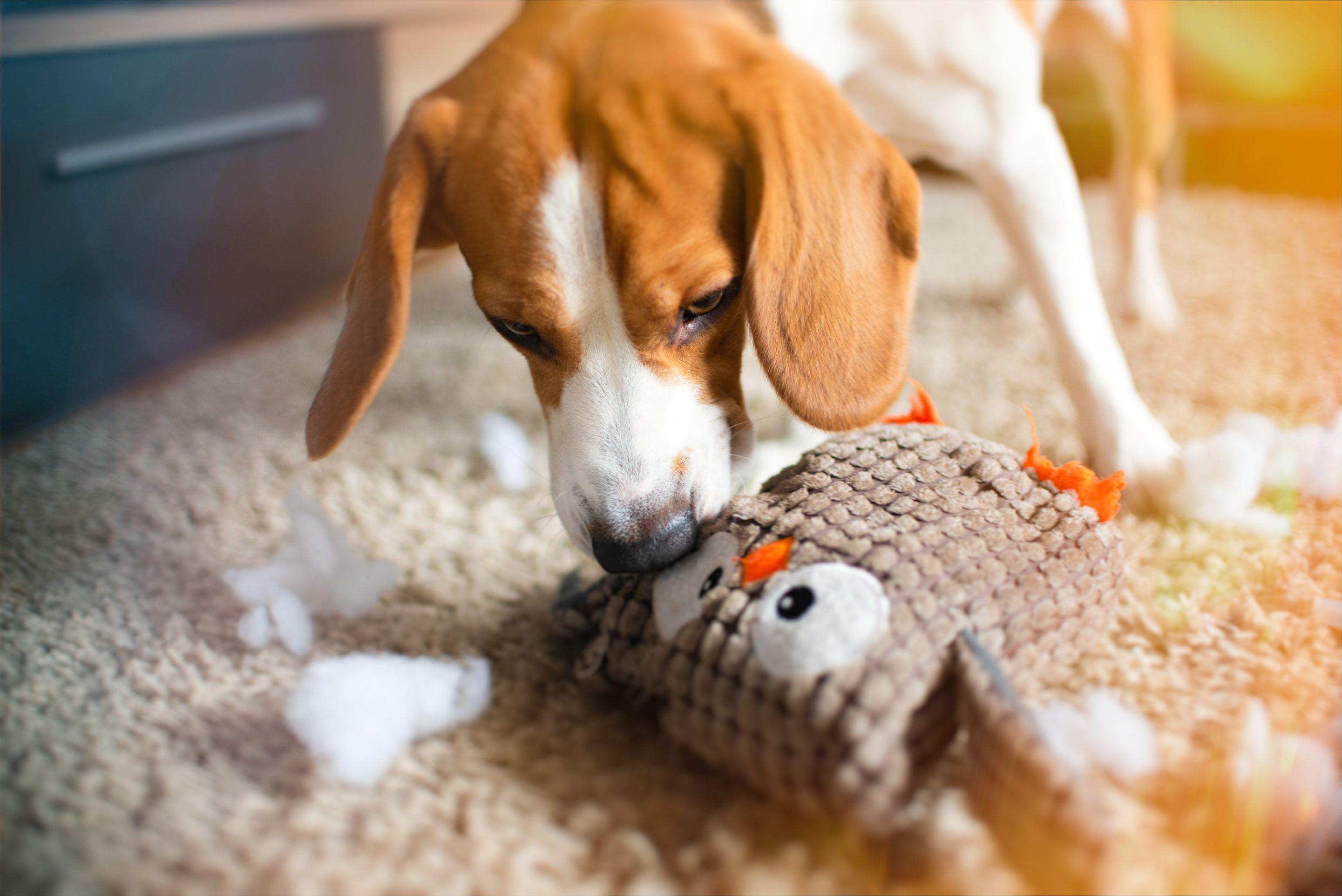 dog sniffing toy