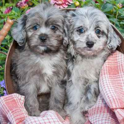 Aussiedoodle Puppies Animal Kingdom Arizona