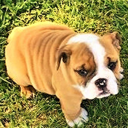 Dana's English Bulldog