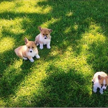 Dana's Corgi puppies