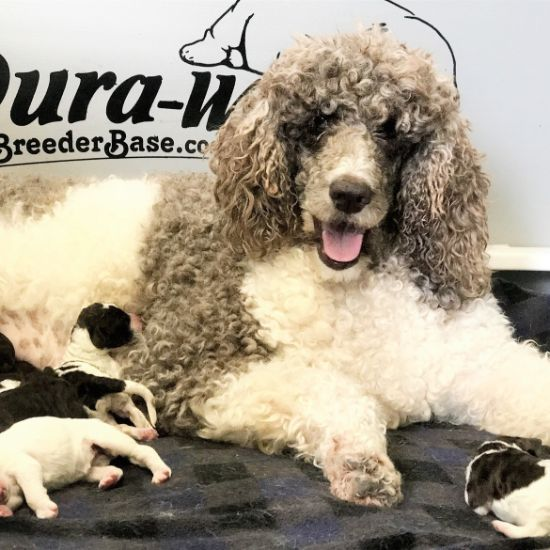 Mommy Poodle with Puppies
