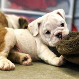 English Bulldog Puppies For Sale Available In Phoenix