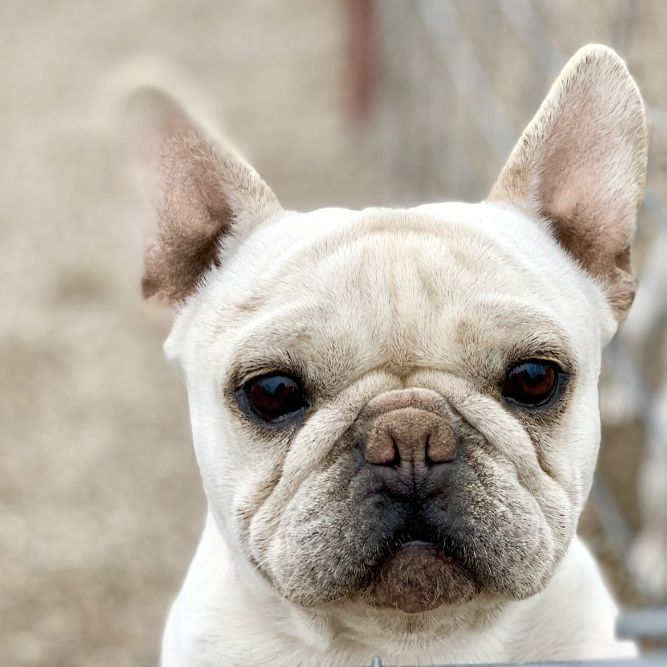 I'm totally a French Bulldog
