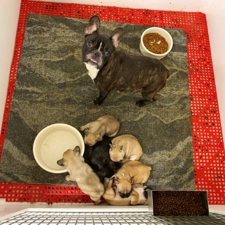 Mama Frenchie with her puppies. Too cute.