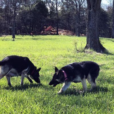 German Shepherd adult dogs