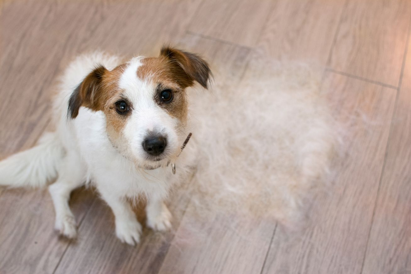terrier dog sitting by a pile of fur