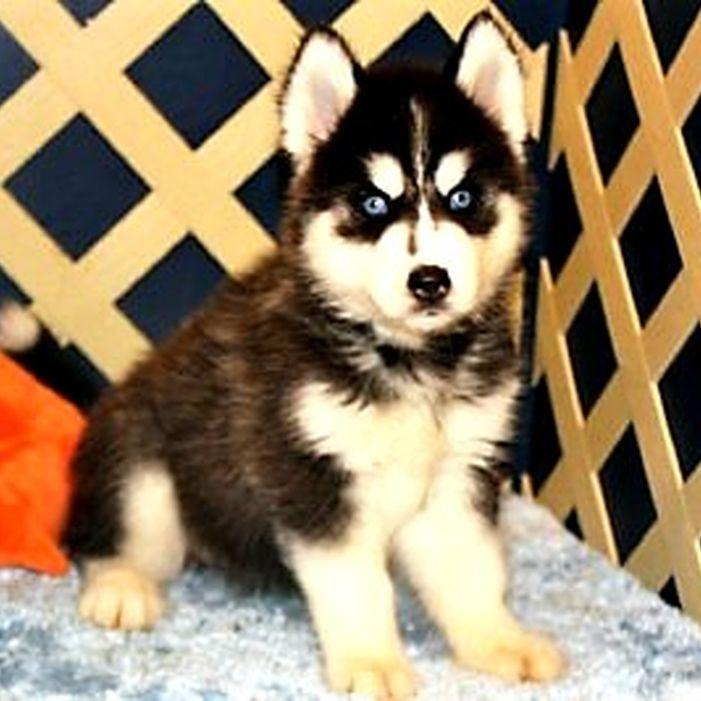 One of John and Linda's baby Huskies