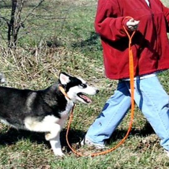 Out for a walk with adult Husky