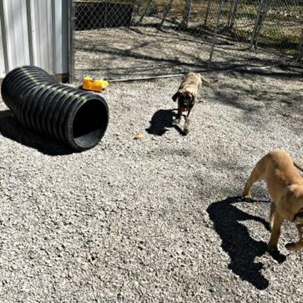 Mastiff puppies playing