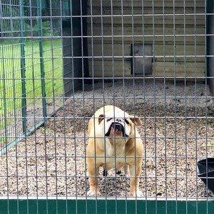 English Bulldog in Outdoor Kennel