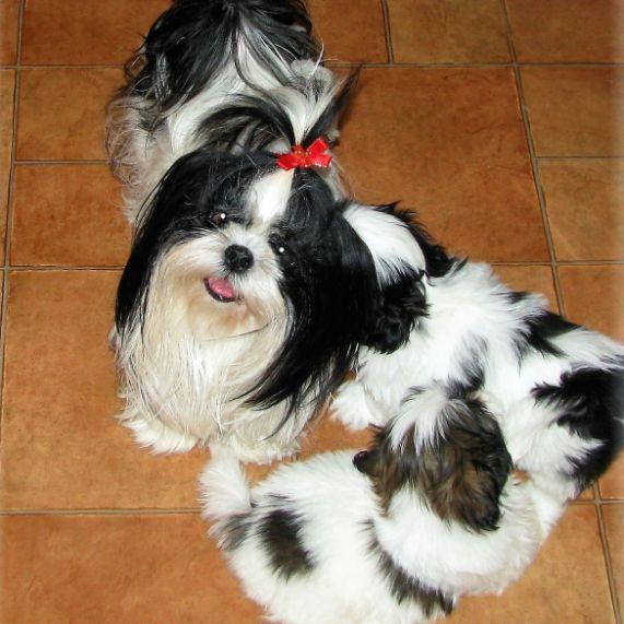 Shih Tzu with puppies