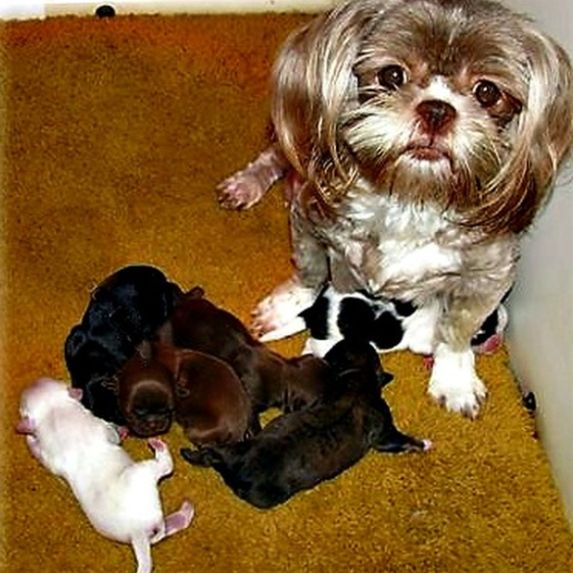 Lhasa Apso puppies with their mother