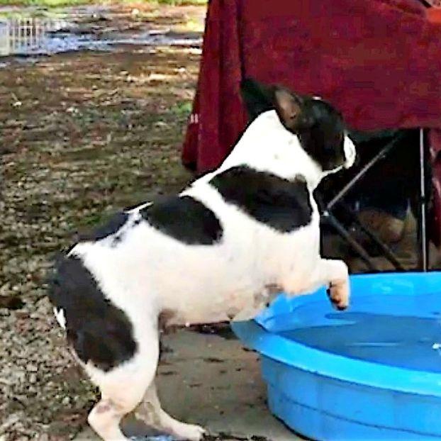 French Bulldog Taking a Dip