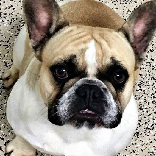 Smile, French Bulldog