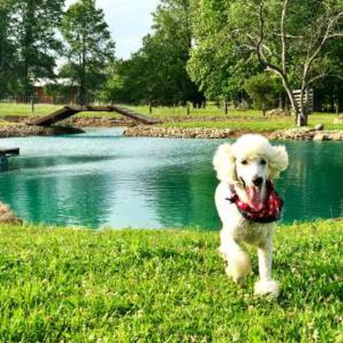 Poodle running near Pam's pond