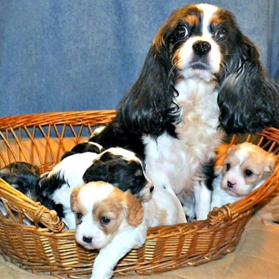 Cocker Spaniel mom with puppies