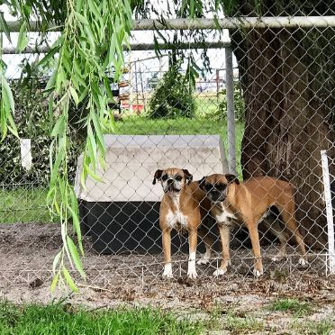Retired Adult Boxers Playing in Outdoor Kennel
