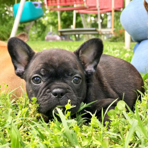 Cute Frenchie playing in field