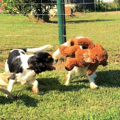 Adult dogs get outdoor socialization and exercise