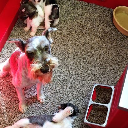 Mommy Schnauzer with her puppies