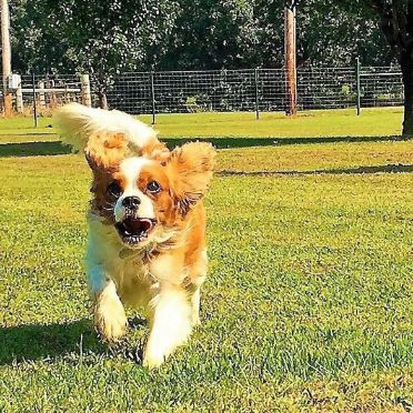 Cavalier King Charles Spaniel running in play yard