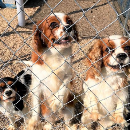 Cavalier King Charles Spaniel dogs in kennel
