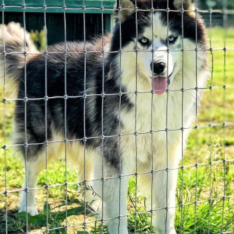 Adult Husky in Vast and Sprawling Outdoor Yard