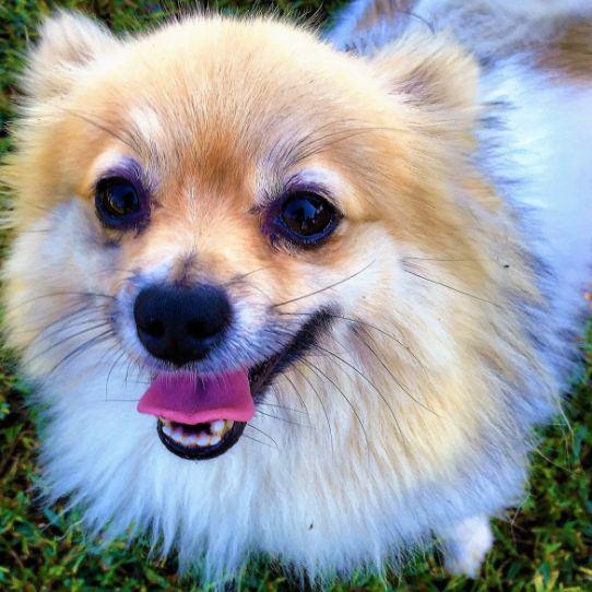 One of Susie's Pomeranians