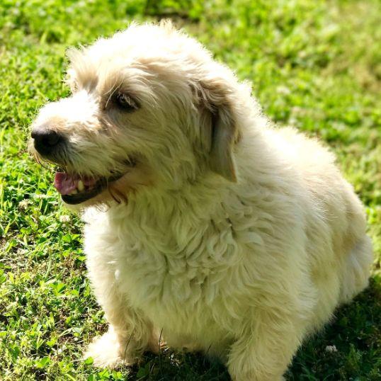 Adorable Mini Goldendoodle