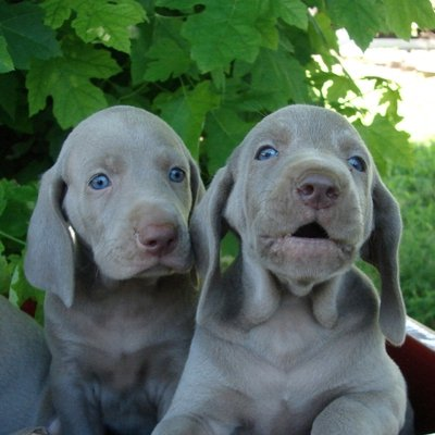 Weimaraner Puppies Animal Kingdom Arizona